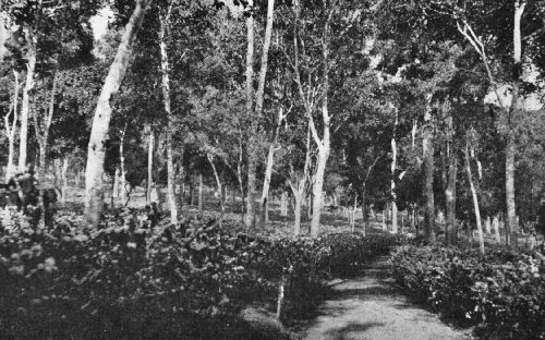 Coffee Growing Under Shade, Ubban Estate, India