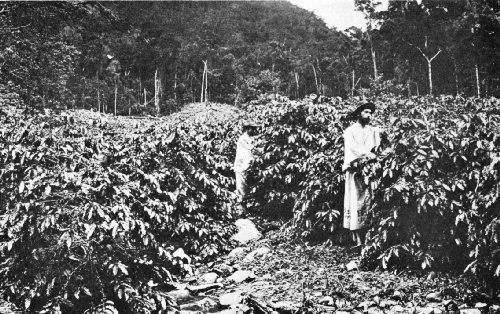 Picking Coffee on a North Queensland Plantation