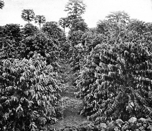 The Coffee Tree Thrives in the Lava Soil of South Kona, Island of Hawaii