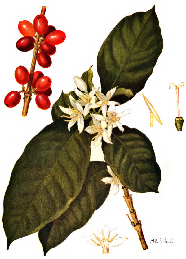 COFFEE ARABICA; LEAVES, FLOWERS AND FRUIT